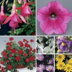 Mixed Floral 2 Pre-Planted Summer Hanging Baskets, Only £19.98