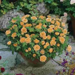 Patio Rose Orange 1 Plant 3 Litre, only £12.99