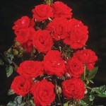 Half Standard Rose Top™ 1 Plant 3 Litre, only £18.99