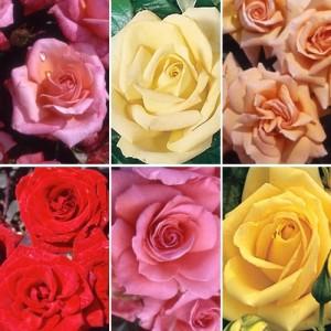 405580-roses3