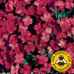 Aubretia Royal Red 12 XLarge Plants, just £9.99
