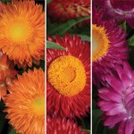 Bracteantha (Straw Daisy) Collection 3 Plants 9cm Pot, just £9.98