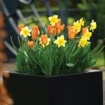 Tulip, Narcissus Layered Mix 15 Bulbs, Only £9.99