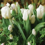Anemone, Muscari, Tulip Layered Mix 27 Bulbs, Only £9.99