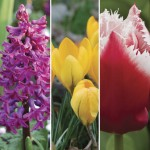 Crocus, Hyacinth, Tulip Layered Mix 30 Bulbs, Only £11.99