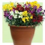 Wallflower Wizard 2 Pre-Planted Containers, Only £19.98