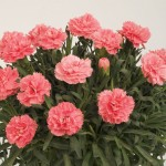 Carnation Colori Primo 2 Pre-Planted Containers, Only £19.98