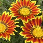 Gazania Bicolour Sundevil 3 Plants 9cm Pot, just £9.98