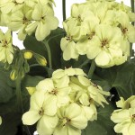 Geranium Solaris 3 Plants 9cm Pot, just £9.98