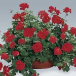2 Geranium Red (Trailing) Pre-Planted Hanging Baskets, only £19.98