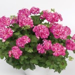 2 Geranium Rose Colour Bicolour (Trailing) Pre-Planted Hanging Baskets, only £19.98
