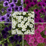 2 Petunia Littletunia Pre-Planted Hanging Baskets, only £19.98