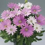 Osteospermum Pinks 3 Plants 9cm Pot, just £9.98