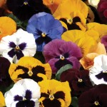 Pansy Grande Fragrance 50 Medium Plants + 20 FREE, Only £12.99