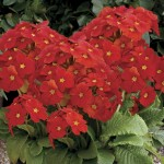 Polyanthus Red Ribbon 50 Medium Plants + 20 FREE, Only £14.99
