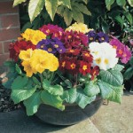 Polyanthus High Seas 100 Plug Plants + 60 FREE, £15.