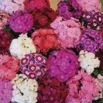 Sweet William Rouge Blush 100 Plug Plants + 60 FREE, £14.99