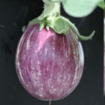 Eggplant (Aubergine) Pin Stripe 1 Pre-Planted Container, only £12.99