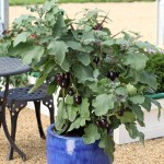 Aubergine Jack Pot 1 Pre-Planted Container, only £12.99