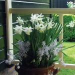 Narcissus and Scilla Layered Mix 22 Bulbs , only £11.99