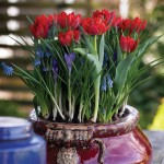 Tulip Muscari Crocus Layered Mix 28 Bulbs , only £9.99