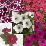 Petunia Cascadia Mix 2 Pre-Planted Hanging Baskets, Only £19.98