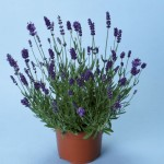 Lavender Elegance Purple 12 Jumbo Ready Plants just £9.99