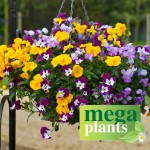 Viola Ochre (Trailing) 12 Mega Plants, just £9.99