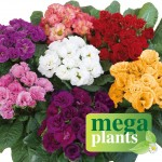 Primrose Rosebud Mega Plants. just £9.99