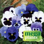 Pansy Oceana 12 Mega Plants, just £9.99