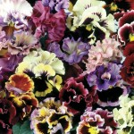 Pansy Can Can 70 Small Plugs +35 FREE, Only £9.99