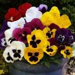Pansy Colourburst 100 Plug Plants + 60 FREE, £14.99