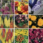 Perennial Mixed Collection 12 Jumbo Ready Plants just £9.99