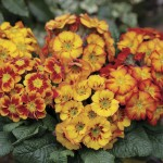 Polyanthus Fireglow 6 Jumbo Ready Plants, just £9.99