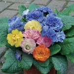 Primrose Two Tu 6 Jumbo Ready Plants, just £15.99