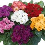 Primrose Rosebud 24 Large Plants, Only £11.99