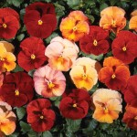 Pansy Golden Flambe 100 Plug Plants + 60 FREE, £14.99