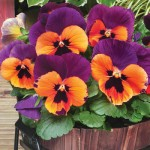 NEW Variety: Pansy Purple & Orange 100 Plug Plants + 60 FREE, £14.99
