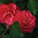 Camellia Lady Campbell 1 Plant 3 Litre, just £14.99