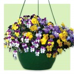Pansy Cascadia Trailing Mix 2 Pre-Planted Hanging Baskets , only £19.98