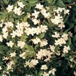 Jasmine (Jasminium Officianale) 1 Plant 3 Litre, Only £12.99