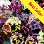 Pansy Can Can 30 Ready Plants + 15 FREE, only £9.99