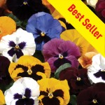 Pansy Grande Fragrance 50 Ready Plants + 20 FREE, £12.99