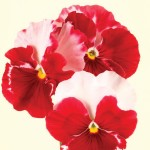 Pansy Strawberry Rose 50 Plants + 20 FREE, only £13.99
