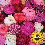 Sweet William Rouge Blush 30 Ready Plants + 15 FREE, only £10.99