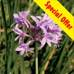 Special Tulbaghia Offer!