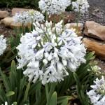 Agapanthus Queen Mum 1 Plant 2 Litre, only £14.99