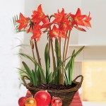 Multiflowering Amaryllis in a Rustic Basket only £18.99!