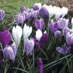 Large Flowering Crocus 50 Bulbs, only £9.99
