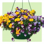 Viola Ochre Trailing 2 Pre-Planted Hanging Baskets, Only £19.98